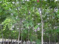 香花槐供应、刺槐图片、香花槐价格表、黄花槐、槐树等绿化苗木