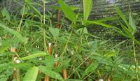 红竹,红竹供应,建水龙竹供应,红竹价格