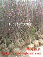 供应榆叶梅、美人梅、珍珠梅等各种梅花
