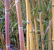 竹子批发-淡竹、钢竹、罗汉竹、雷竹、红竹、毛竹、金镶玉竹等