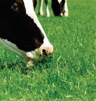 供应 多年生黑麦草 高羊茅 紫羊茅 三叶草 草种 全国批发