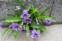紫花地丁,紫花地丁价格,紫花地丁图片