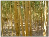 黄杆乌哺鸡竹 低价出售黄杆乌哺鸡竹 *新价格 绿化苗木