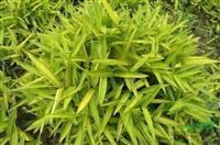 供应优质菲黄竹,竹子批发,各种观赏竹子,大量批发菲黄竹,规格