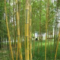 供应绿化竹子 景观竹子 花毛竹