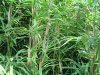 供应茶杆竹