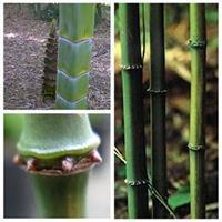 全国*大竹苗销售基地常年供应方竹
