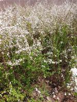 低价批发珍珠梅、腊梅、榆叶梅、珍珠梅价格等各种梅花