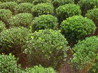 2.8米大叶黄杨球价格1300元装车产地江苏沭阳一级树