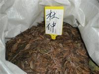 大量供应江西杜仲种子 九江杜仲种子图片  江西杜仲种子报价