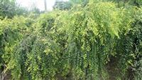 供应垂榆、金叶榆、榆树等规格齐全欢迎订购