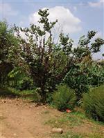 苗圃实景供应丛生紫荆、花(果)石榴、都是我们苗圃实景拍摄欢迎