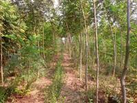 我们苗圃实景供应枫杨、苦楝、水杉、水杉小苗、构树.乌桕等规格