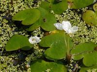 水鳖、水生植物水鳖、沭阳水鳖基地
