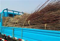 安徽、毛桃树、低价供应好的供应商毛桃树新价格表