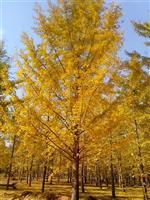 银杏、银杏实生树、银杏嫁接树、银杏大树、银杏小苗