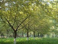 银杏实生树、银杏嫁接树、山东银杏、银杏大树
