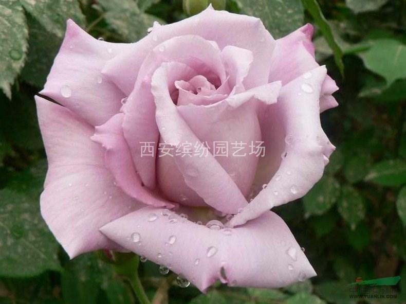 大花月季、大花玫瑰盆花销售