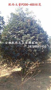安徽、桂花P150-350、低价供应好的供应商