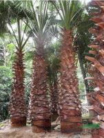 福建老人葵 华盛顿棕榈 华棕 杆高1-6米