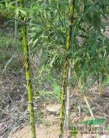 斑竹供应/斑竹图片