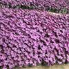 紫叶酢浆草,紫叶酢浆草供应,紫叶酢浆草价格