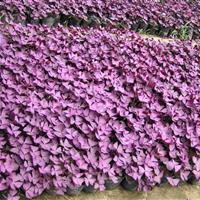 紫叶酢浆草,紫叶酢浆草快乐赛车开奖,紫叶酢浆草价格