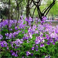 快乐赛车草花种子【二月兰种子】