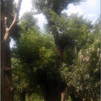 温州本地地区出售大规格榕树,香樟沙朴等