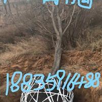 紧急8公分的国槐价格/10公分的国槐树/占地国槐12公分价格