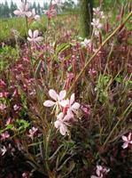 紫叶千鸟花、地被草花千鸟花、千鸟花沭阳种植基地