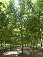 供应银杏,国槐,法桐,柿树。