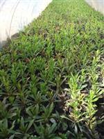 常州草花供应,佛甲草,亚菊,地被石竹,花叶络石,水果兰,荷花