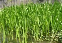 常州供应水生植物,荷花(睡莲),水生鸢尾,黄菖蒲,花叶芦竹