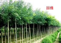 河南许昌鄢陵大量供应2---5公分国槐 鄢陵万亩基地