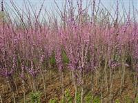 河南许昌鄢陵大量供应紫荆,巨紫荆
