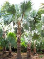 河南许昌大量供应棕榈