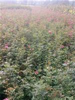 10万亩蔷薇直销蔷薇.爬墙梅,黄刺梅.金丝桃.金丝梅等欢迎订