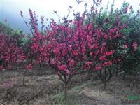 河南许昌鄢陵大量供应红叶桃