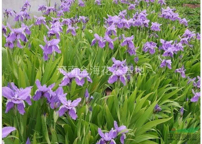 河南许昌鄢陵大量供应扁竹( 鸢尾)