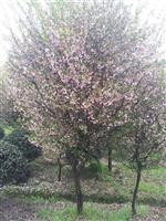 供应红枫,樱花,罗汉松,垂枝海棠,赤枫