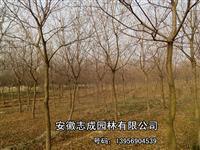 当年三角枫、紫薇、栾树、大叶女贞、乌桕、桂花 红叶李 香樟