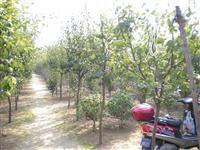 乔木供应木瓜树、柿子树、板栗树、扶桑.火炬、喜树、构树、香椿
