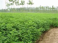 苗圃实供紫穗槐、枸杞、金银花、麻叶绣球等绿化苗木欢迎订购。
