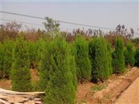 苗圃实景供应蜀桧(塔柏)(高15-200公分)桧柏、蜀桧小苗