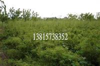 江苏凤尾竹,凤尾竹种子,凤尾竹苗,别名:观音竹、米竹、筋头竹