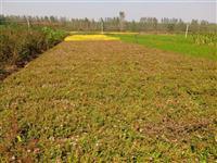 苗圃100万棵绣线菊甩卖、红花绣线菊、金山绣线菊、金焰绣线菊