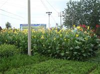 大量直銷地被花草:鳶尾2000萬棵、大花萱草、玉簪、美人蕉等