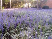 苗圃实供金叶麦冬草、大中小叶麦冬草等各种花草/各种水生花草