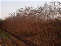 苗圃实景供应红叶桃、紫叶碧桃、紫叶桃、桃树、桃树小苗欢迎订购